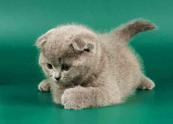 Ваш лучший друг британский вислоухий кот