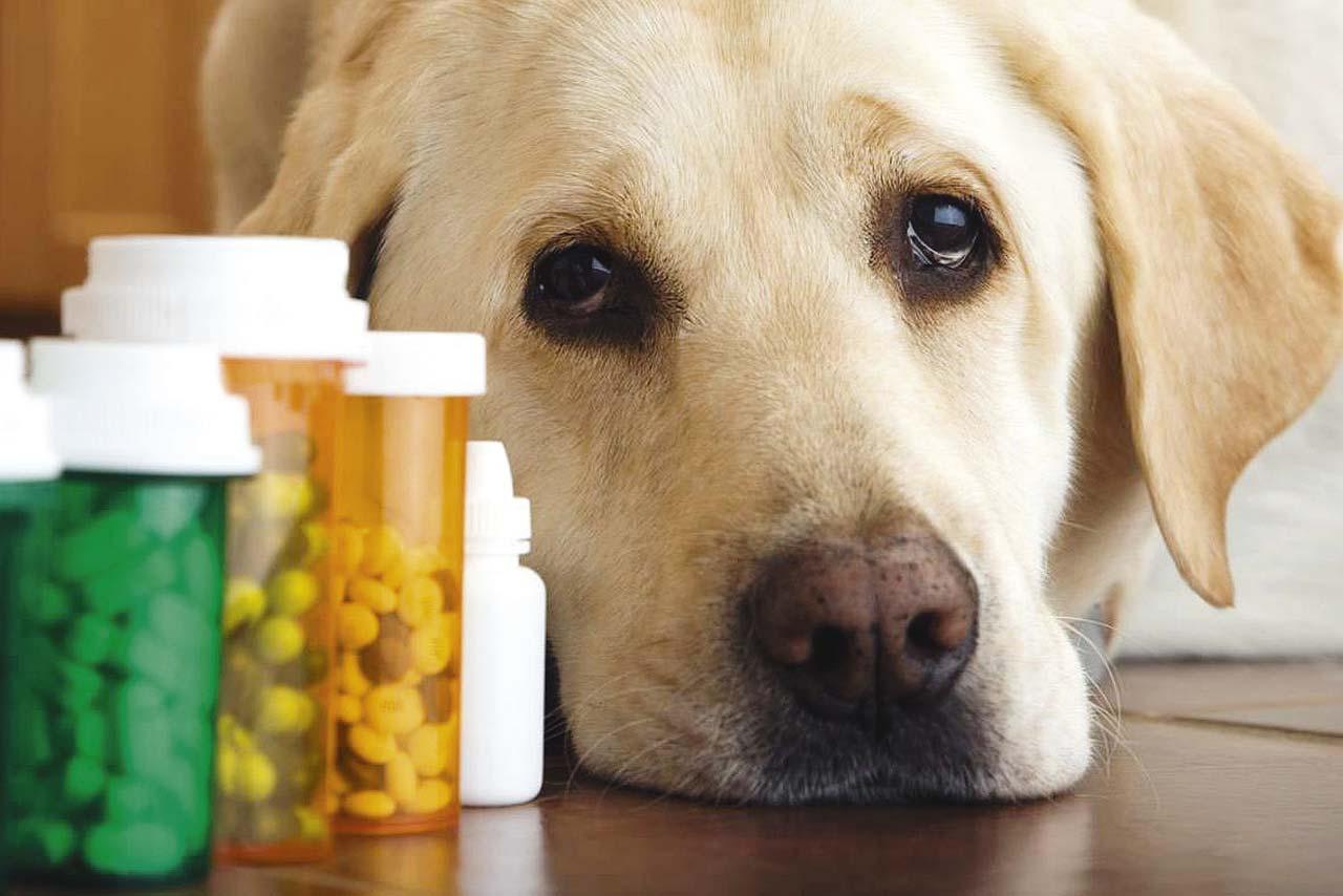 Можно ли давать собаке парацетамол ?