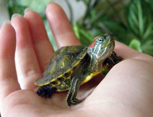 Экзотические домашние животные: черепахи