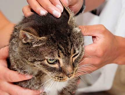 Ушные клещи у кошек и собак