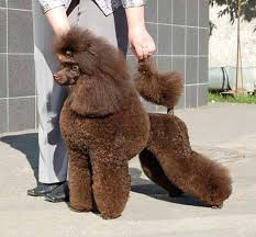 Как познакомиться с заводчиками собак пуделей ?